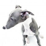 Whippet portrait photos at newcastle photography studio 004