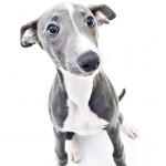 Whippet portrait photos at newcastle photography studio