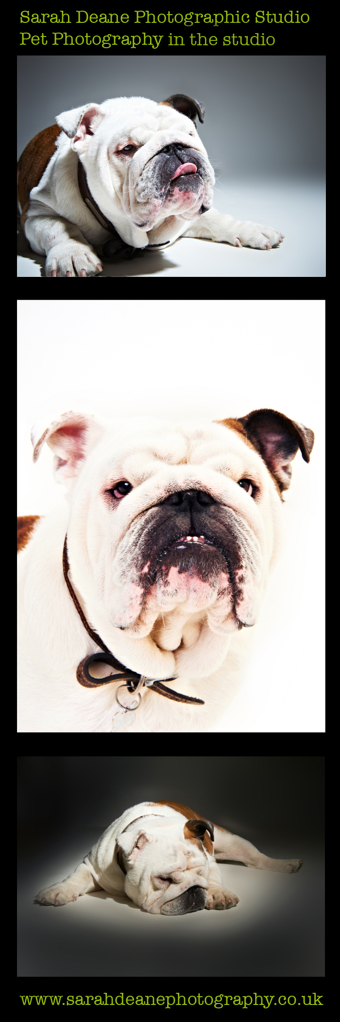 British bulldog portraits copy