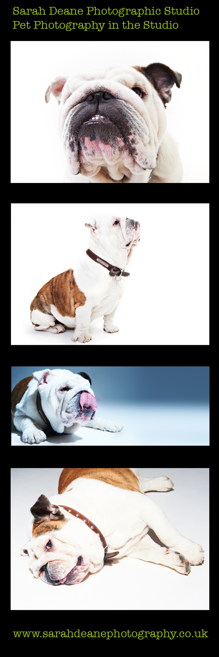 english bull dog portraits at newcastle studio