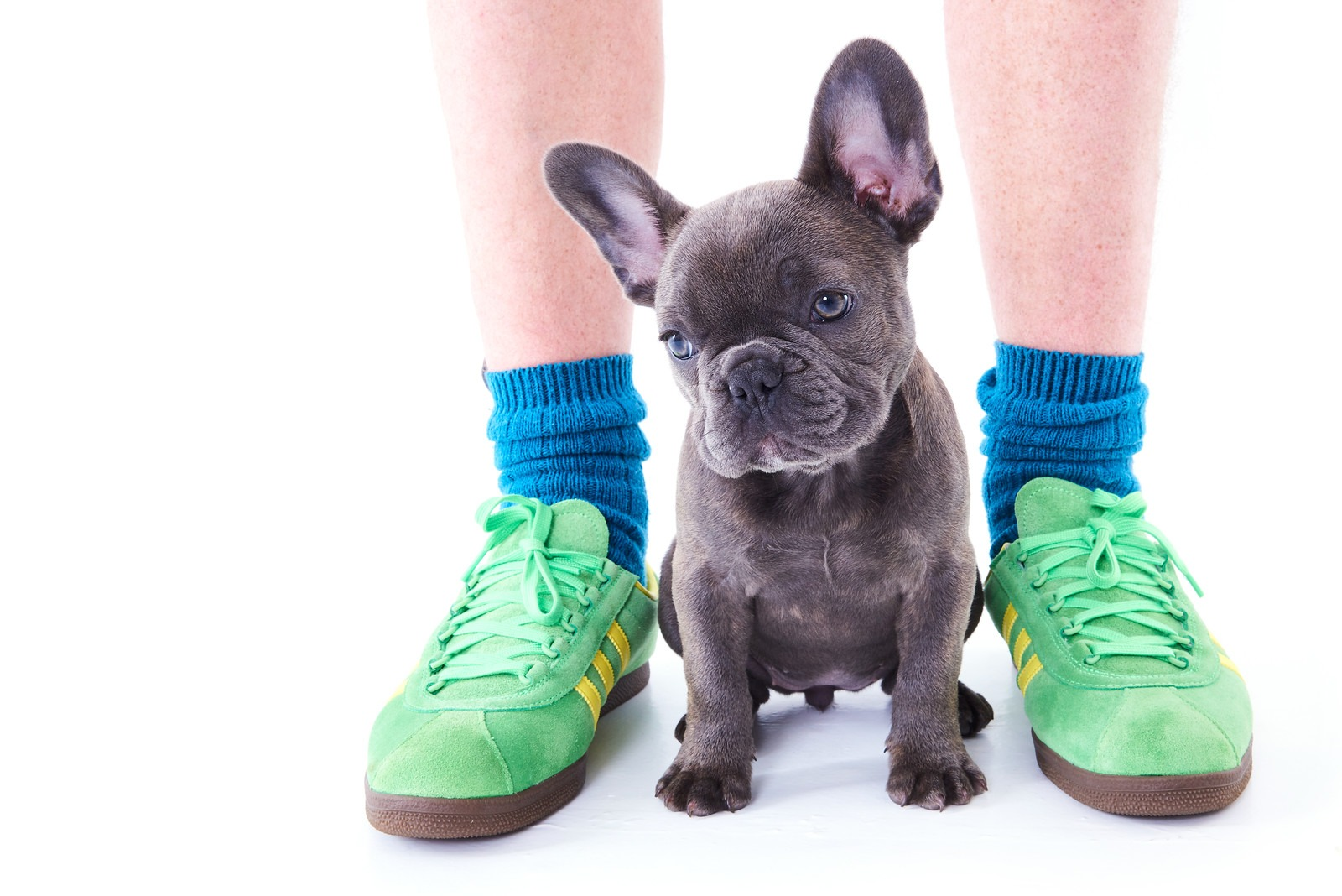 Pet Portraits taken in Newcastle Photography studio of French Bulldog Puppy